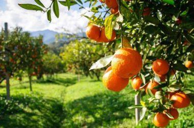 ¿Cuándo se recogen las naranjas en Valencia?
