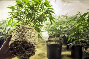 Kits para cultivo de marihuana en interior