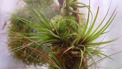 Tillandsias o plantas del aire: cuidados, decoración y cultivo
